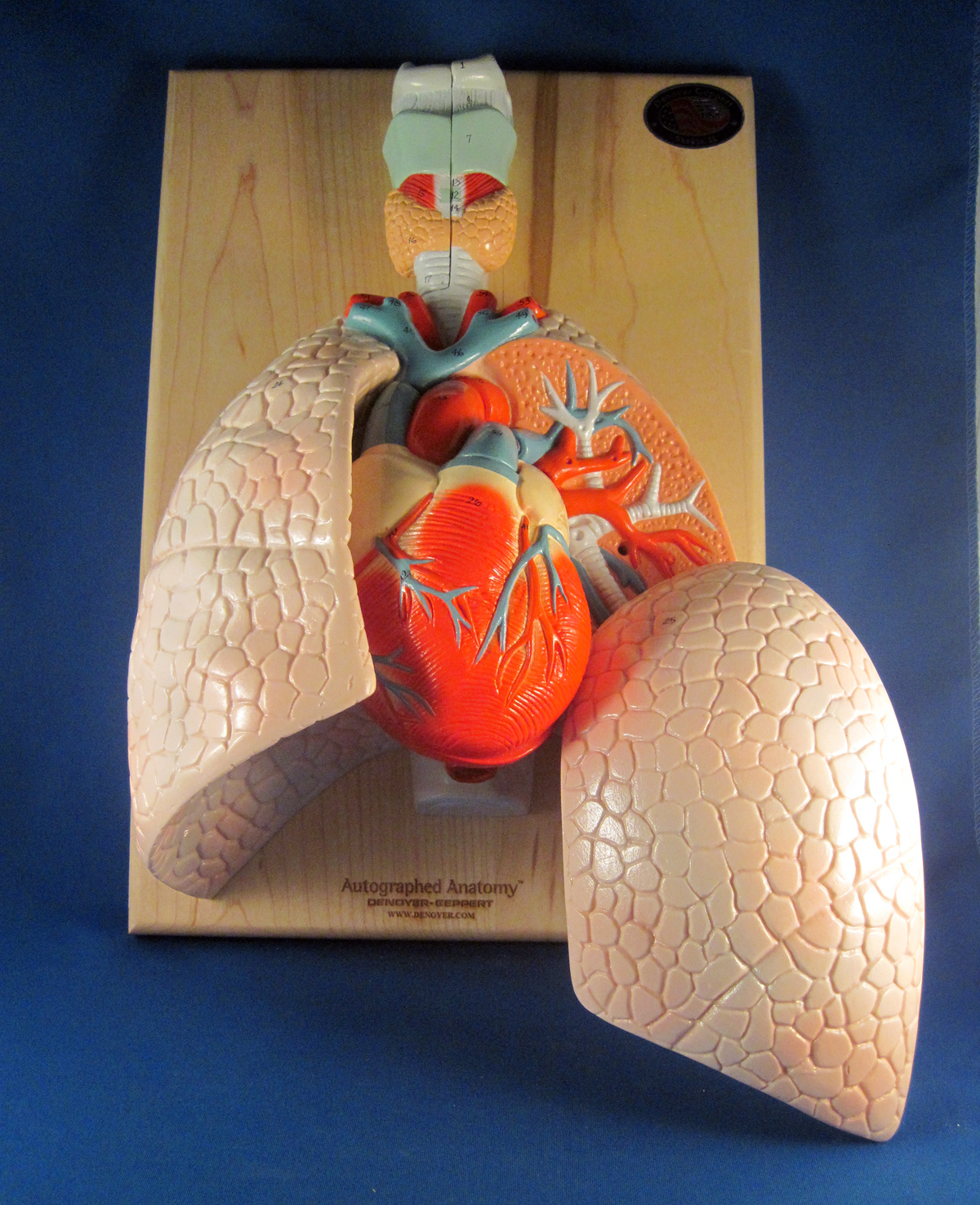 Respiratory System Model | Central Coast Science Project ...
