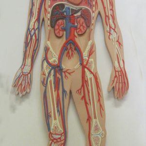 Circulatory System Model | Central Coast Science Project | Science ...