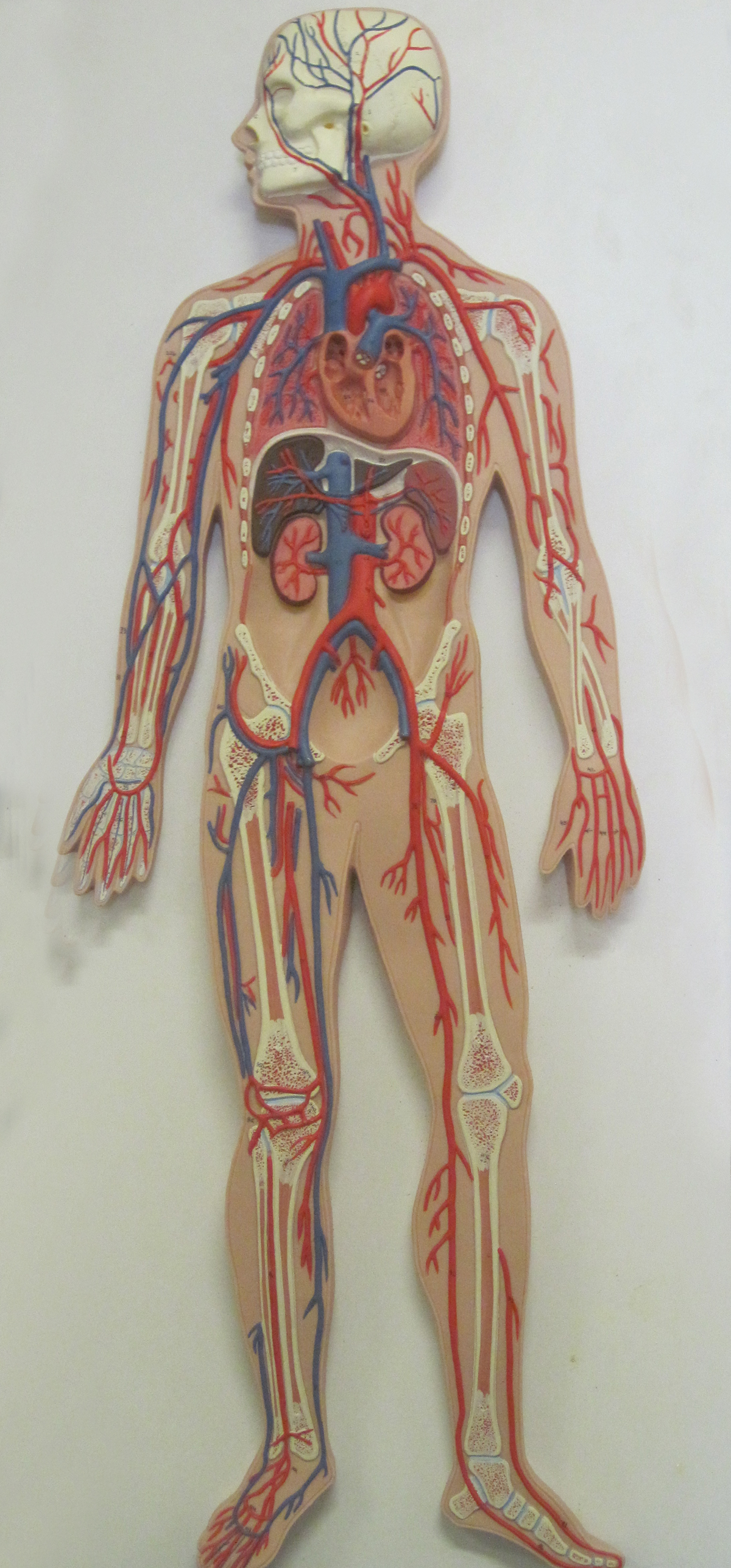 Circulatory System Model | Central Coast Science Project ...